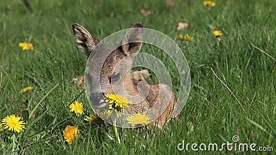 Roe Deer, capreolus do capreolus, Fawn Laying no prado com flores amarelas, Normandy em França, vídeos de arquivo