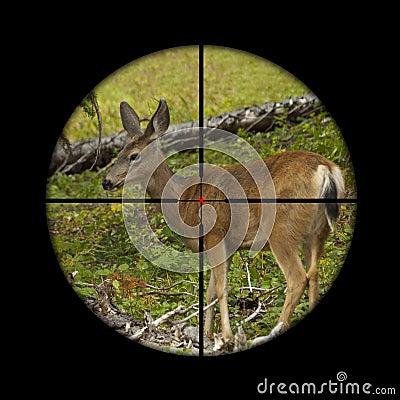 Roe deer in crosshairs