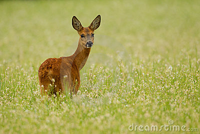 Roe deer doe in buckwheat