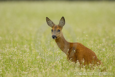 Roe deer doe sitting in buckwheat