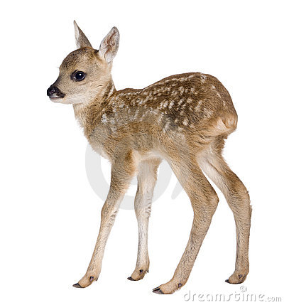 Free Roe Deer Fawn - Capreolus Capreolus (15 Days Old) Royalty Free Stock Image - 10047486