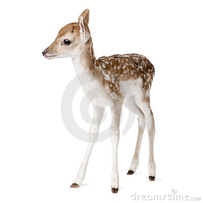 Free Roe Deer Fawn In Front Of A White Background Royalty Free Stock Photo - 10938145