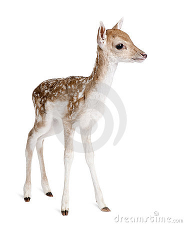 Free Roe Deer Fawn In Front Of A White Background Stock Images - 10938154