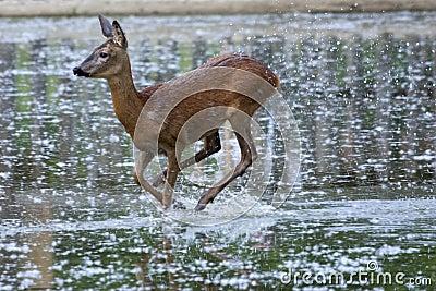 Roe Deer female (Capreolus capreolus)