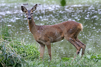 Roe Deer female, Capreolus capreolus