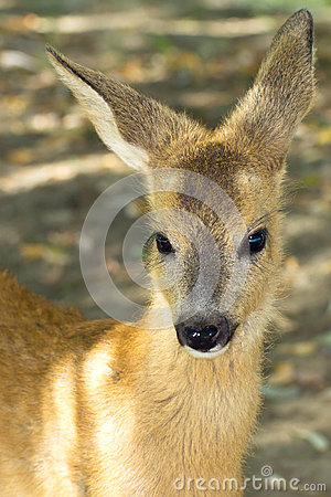 Roe deer, immature (Capreolus capreolus