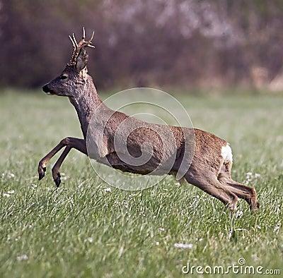 Free Roe Deer Jumping Royalty Free Stock Image - 24414356