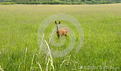 Roe Deer looking at you