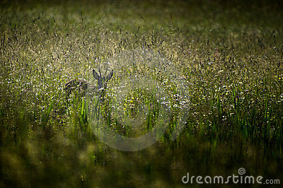 Roe deer in meadow