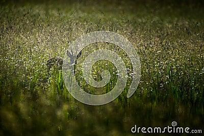 Roe deer in meadow