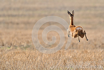 Roe deer running over field
