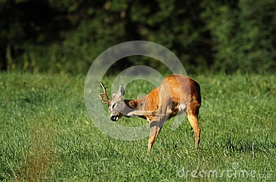 Roe deer scratching