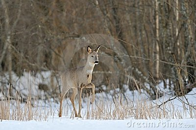 Roe deer in wintertime