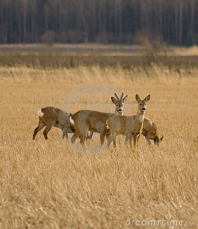 Roe deers in field