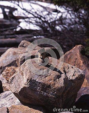 Roedor que se sienta en la roca, lago moraine, Alberta.