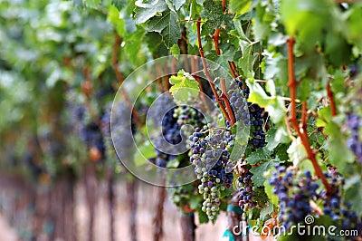 Rojos de maduración del viñedo