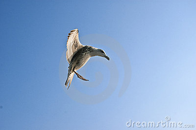 Rolig seagull