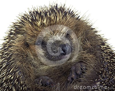 Rolled-up Hedgehog Portrait Royalty Free Stock Image - Image: 24550816