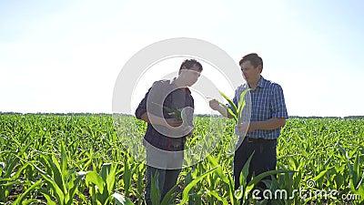 Rolnicy w polu kukurudza zbiory