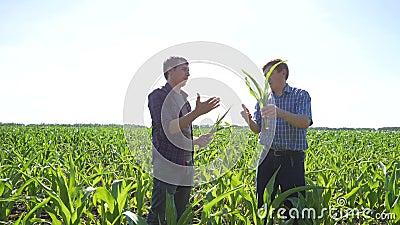 Rolnicy w polu kukurudza zbiory wideo