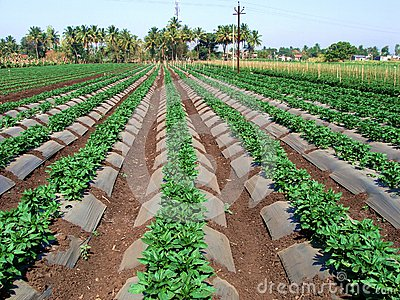 Rolny warzywo