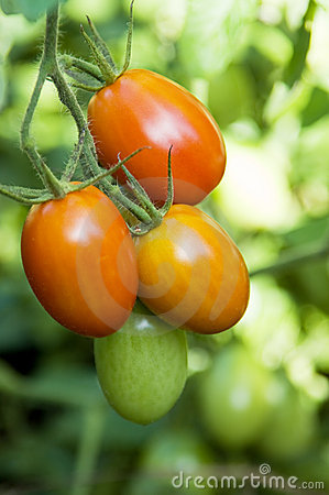 Roma tomatoes on the vine