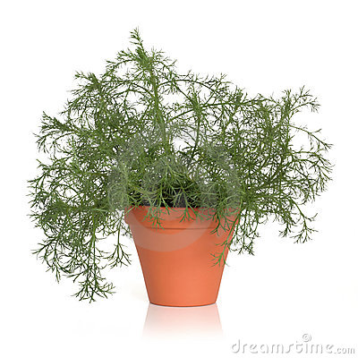 Roman Chamomile Herb Plant