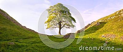 Roman tree III