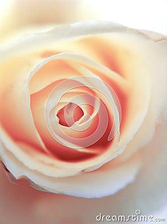 Romance pink rose