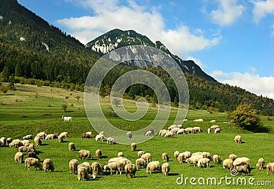 Romanian sheep husbandry, Carpathian mountains