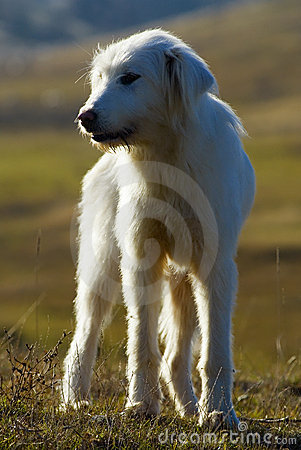 Romanian sheperd dog