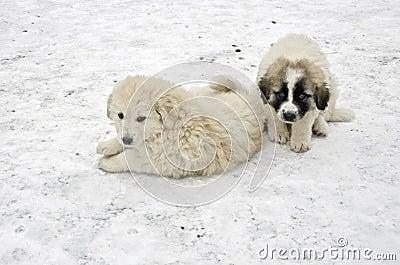 Romanian shepherd puppies