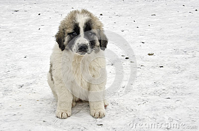 Romanian shepherd puppy