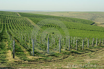Romanian vineyard