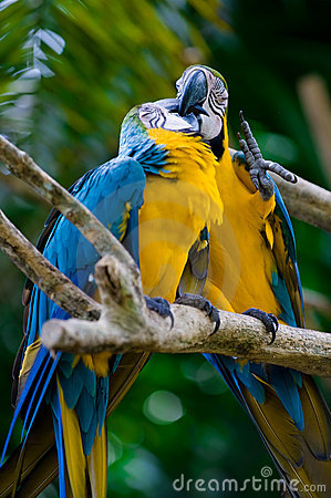 Free Romantic Blue And Yellow Macaws Royalty Free Stock Image - 4812186