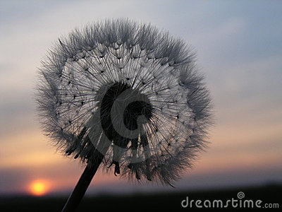 Romantic dandelion sunset