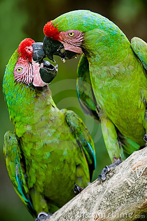 Romantic military macaws