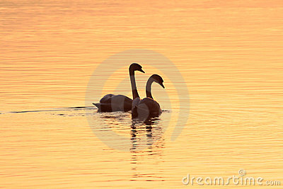 Romantic pair of swans