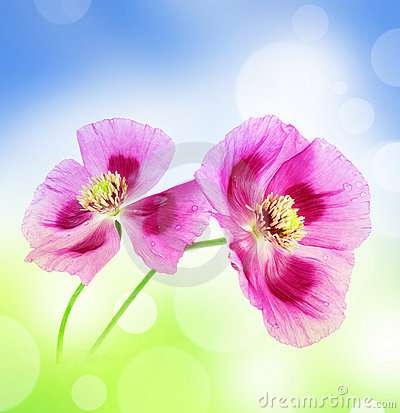 Romantic poppies
