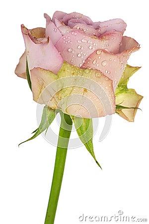 Romantic purple rose