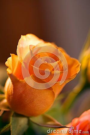 Romantic Rose 2