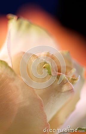 Romantic Rose 3