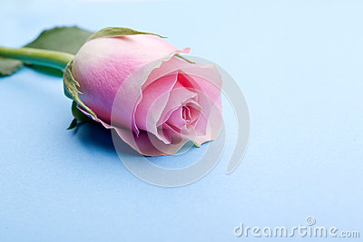 Romantic single pink rose