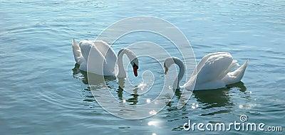 Romantic swans couple