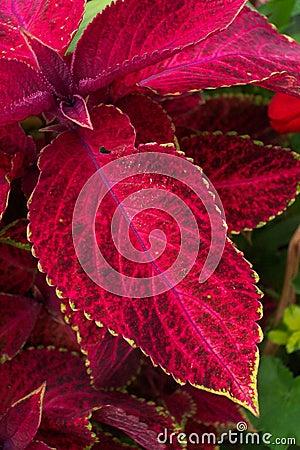 Rood Fluweel