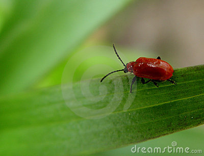 Rood insect