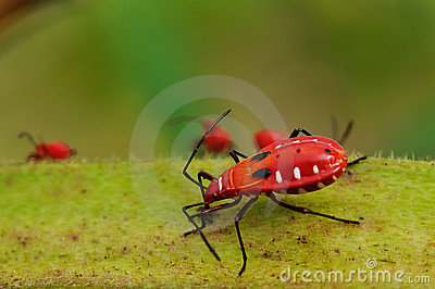 Rood insect het voeden voedingsmiddel op okra.