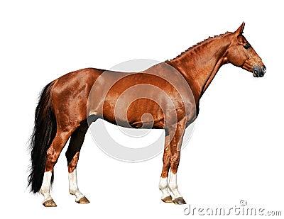 Rood paard dat op de witte achtergrond wordt geïsoleerd