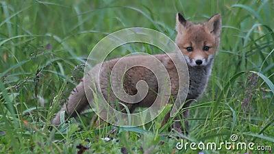 Rood voswelpen geknuffel stock footage