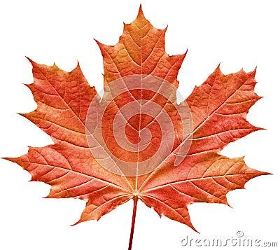 Roodachtig esdoornblad